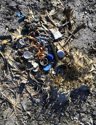 In this Oct. 15, 2019, photo, plastic sits in the decomposed carcass of a seabird on Midway Atoll in the Northwestern Hawaiian Islands. The deaths are a visceral sign of the impact plastics have on the environment. In the Pacific and other oceans around the world, circulating currents pull together vast areas of plastic that seabirds and marine wildlife either eat or get entangled in.