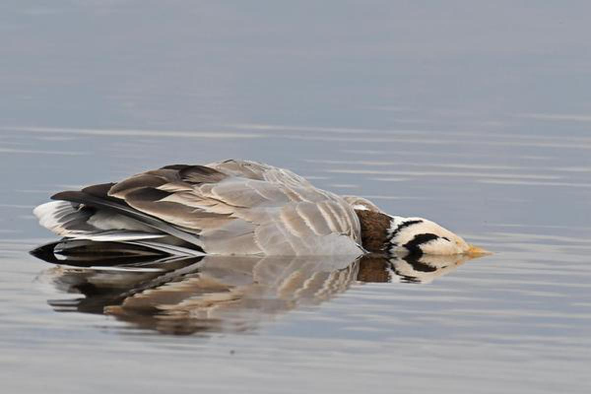 A Bar Headed Goose floating dead in the waters at Pong Dam Lake on December 31, 2020. Photo: Gagan Bedi