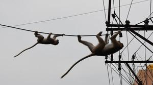 Monkeys make a comeback in Andhra Pradesh's Chittoor