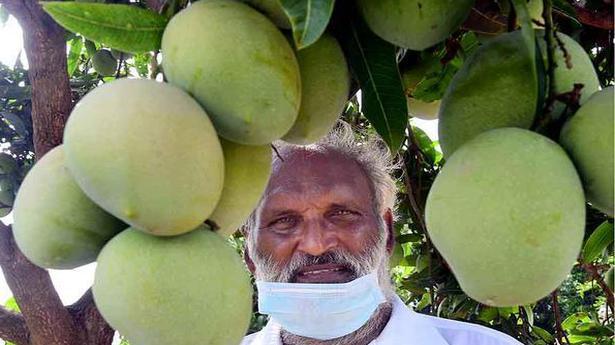 This Andhra Pradesh mango is diabetic-friendly