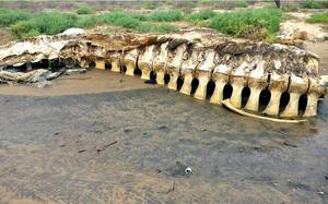 Krishna estuary turning a death trap for whales