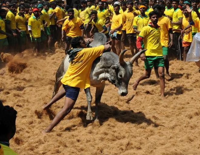 SC Constitution Bench to examine if jallikattu is a cultural right of TN people