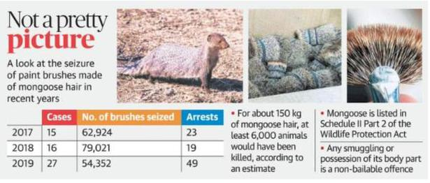 Operation 'Clean Art' to crackdown on illegal trade in mongoose hair