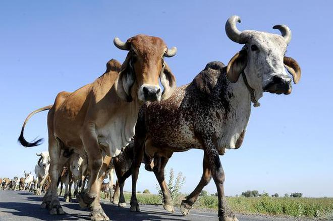 The latest incident comes just over a year after a dairy farmer, Pehlu Khan, was lynched by a mob of cow vigilantes near Behror in Alwar district. File