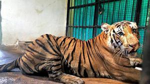 Captured tiger under watch at rescue centre
