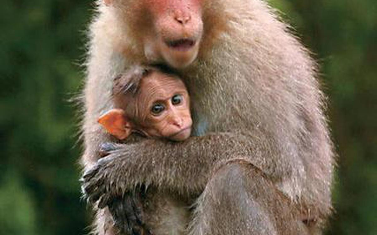 South India S Common Monkey May Soon Become Endangered Finds Study The Hindu .smart rope nature eating leopards intelligent monkey family nagano intelligence family capuchin grd2 snow monkeys jigokudani. south india s common monkey may soon