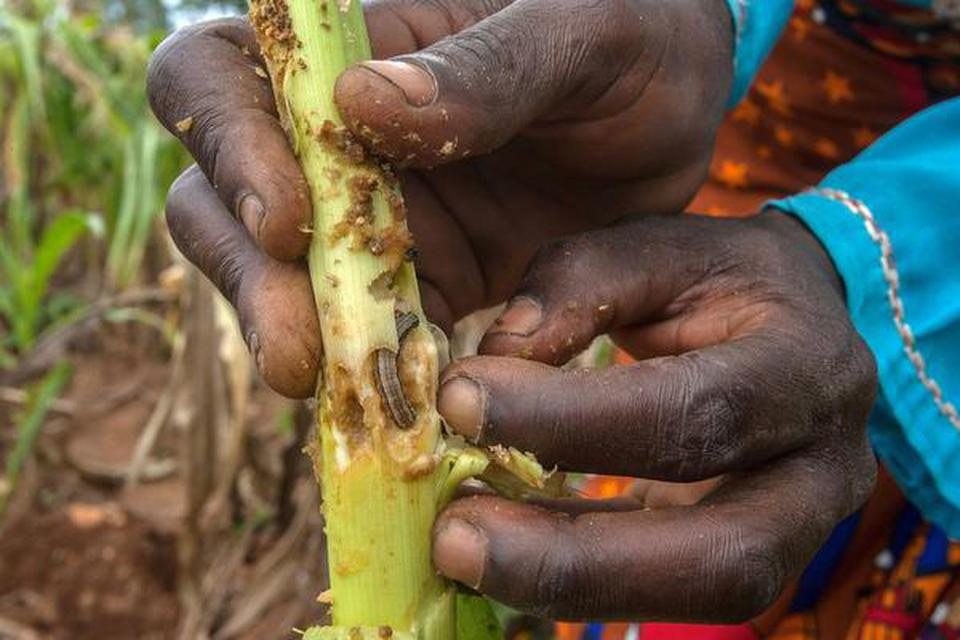 Found in north America earlier, the Fall Armyworm came to Africa in 2016.