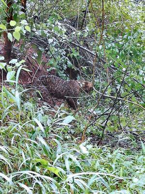 leopard caught in wild boar trap dies the hindu
