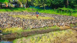 Duck farmers in Kerala in deep trouble due to bird flu outbreak, seek govt.  help - The Hindu