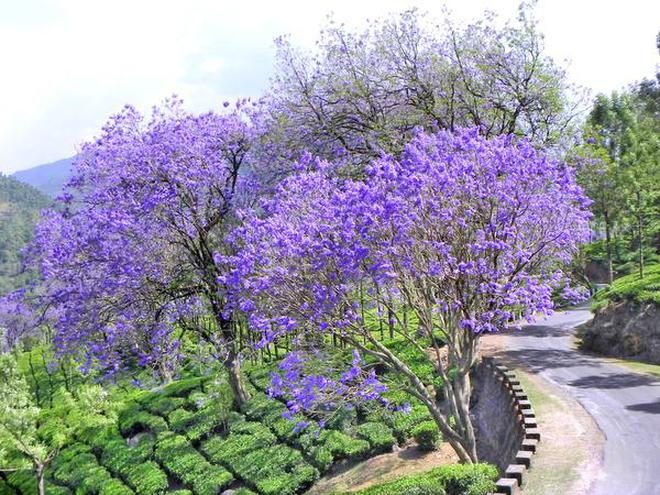 Its spring and munnar paints itself blue the hindu its spring and munnar paints itself blue mightylinksfo