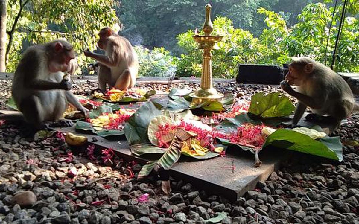 Monkeys feast in this daily ritual - The Hindu