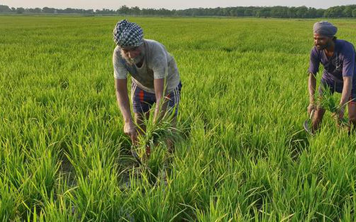 Punjab farmers find a better way to grow paddy - The Hindu