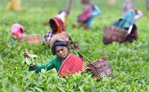 'Tea industry gasping for survival'