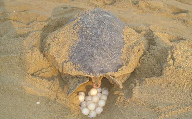 Olive Ridley mass nesting likely on Odisha's Gahirmatha Beach within fortnight