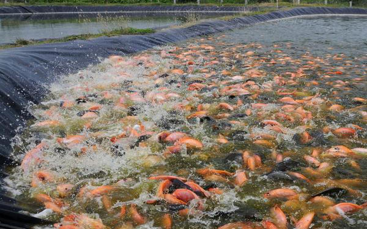 A second coming for Tilapia fish in south Tamil Nadu - The Hindu