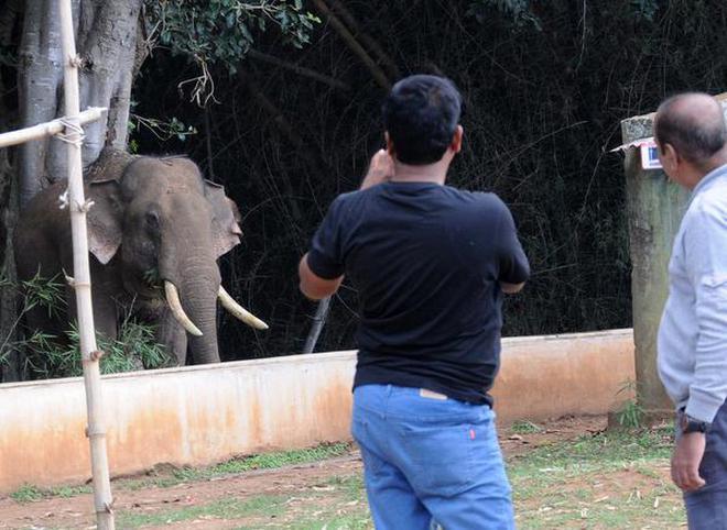 Male ♂ Asian elephant (Elephas maximus) Rivaldo (wild) at Mudumalai National Park