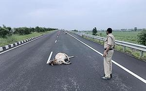Cattle killed by speeding vehicles on NH