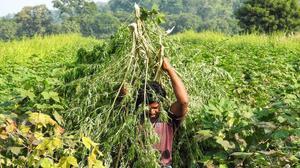 Adilabad getting 'high'on ganja cultivation