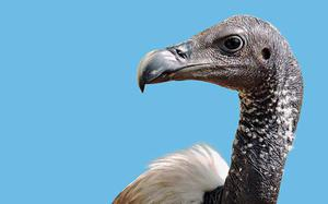 Vulture culture: How the bird was saved from extinction