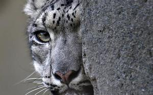 Call of the wild: India plans first-ever snow leopard survey