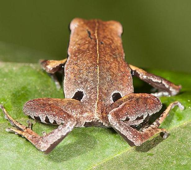 Blink and miss: Kerala's mystery frog