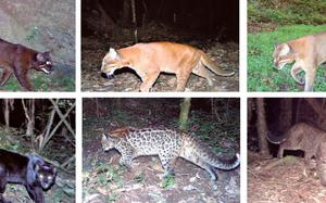 In Arunachal, the golden cat wears new colours