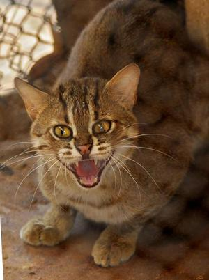 The Endangered Rusty Spotted Cat