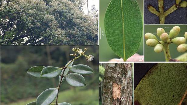 Syzygium anamalaianum.