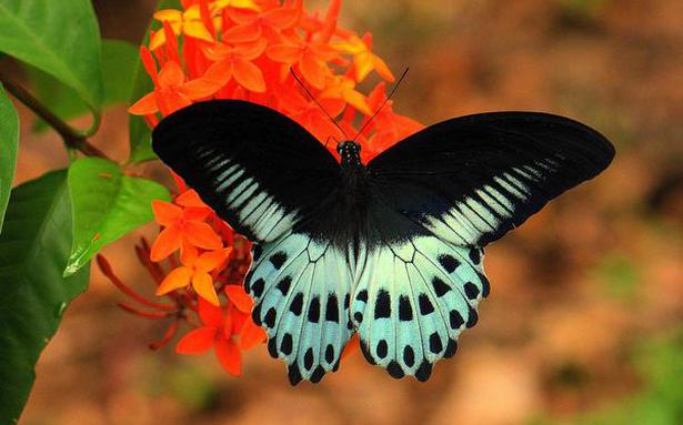 The 'Butterflies of Tamil Nadu' introduces you to 90 commonly found butterflies in the state