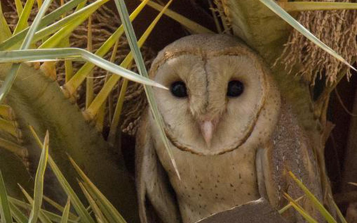 What You Need To Know About The Stealthy Barn Owl The Hindu