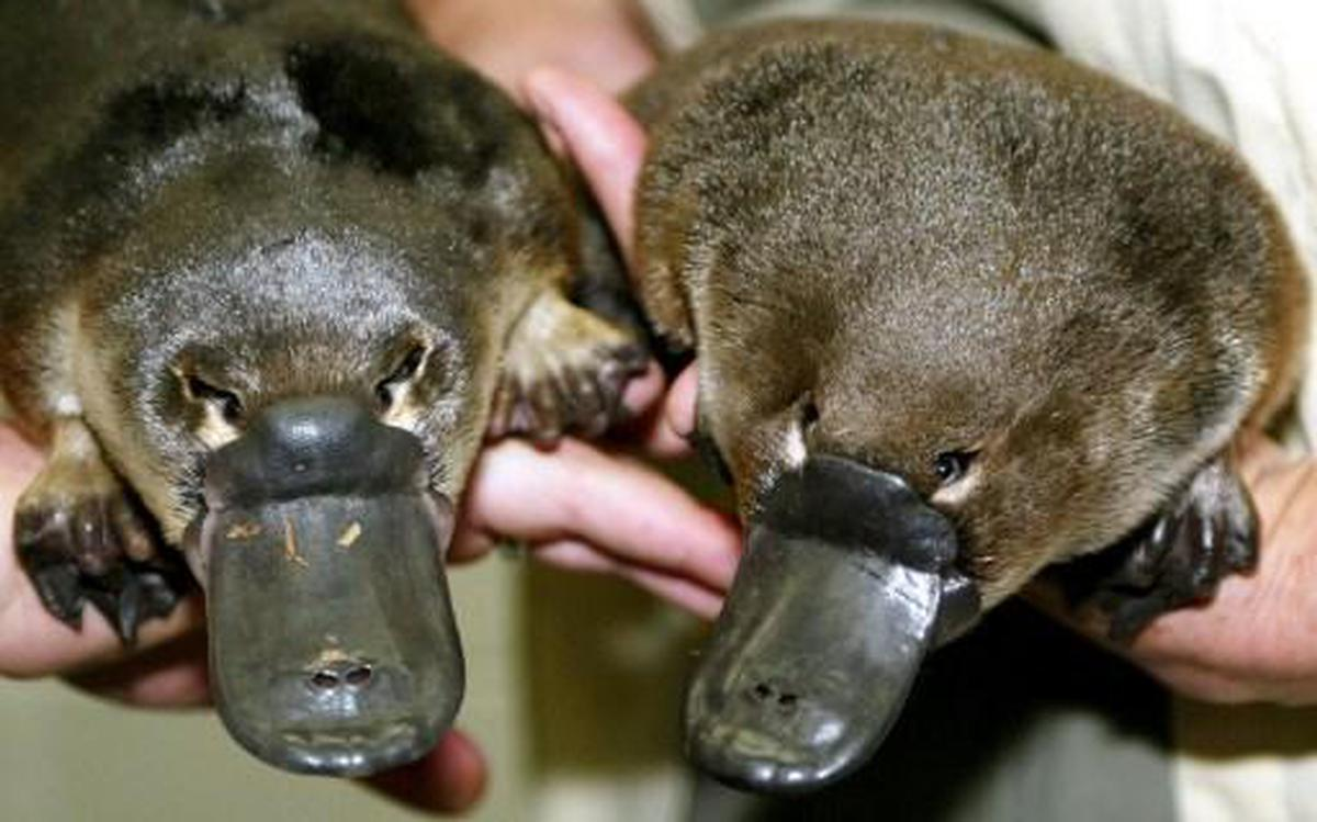 Australia's iconic platypus under threat from climate change ...