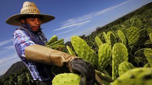 Mexico's cactus offers alternative to plastics