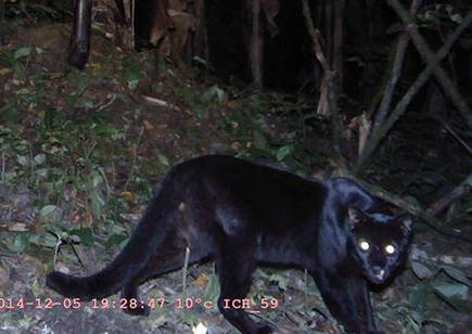 Image result for Asian Golden Cat