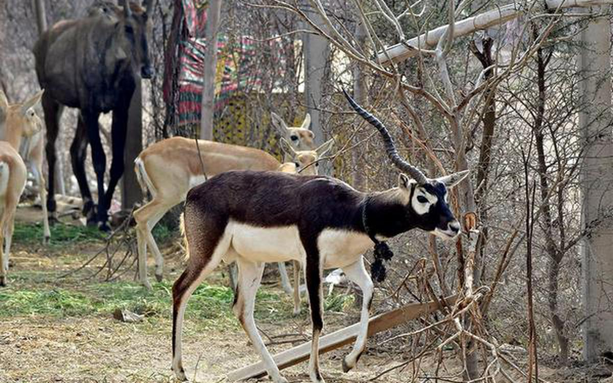 Caught Down The Wire Punjab S Blackbuck Fight For Existence The Hindu