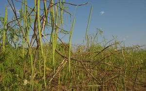 Medicinal properties of drumstick tree unravelled