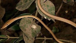 New vine snake discovered in Odisha biosphere reserve