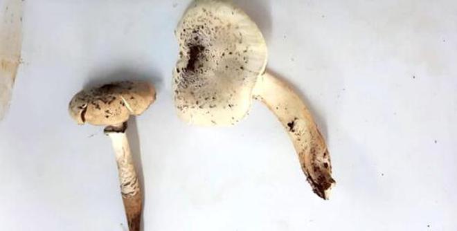 Termitomyces mushrooms