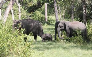 Remotely sensed indices unreliable in informing elephant forage