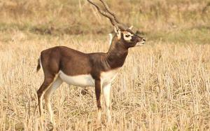 Genetics reveals origin and evolution of blackbuck, chinkara