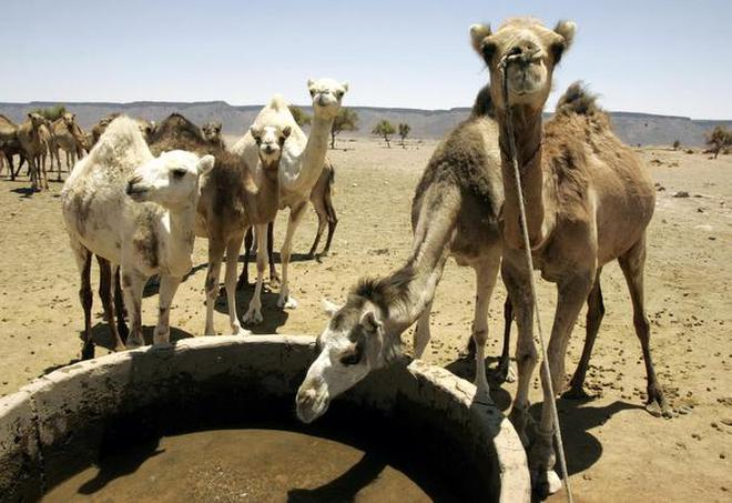 Camels drink water in the Sahara desert around 100 kilometers from the town of Zouerat, Mauritania,