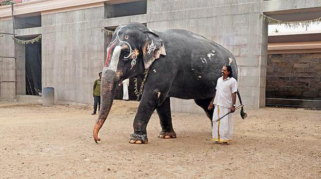 Andal, the Sri Ranganathaswamy Temple elephant, coming out of the new shelter in Srirangam on Monday.M. SrinathM_SRINATH