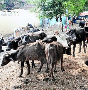 Stray cattle impounded by the Corporation tied at a shed in Tiruchi on Sunday.
